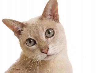 обои Ухоженная любопытная кошка фото