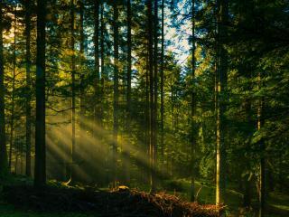 обои Хвойный лес в утренних лучах солнца фото