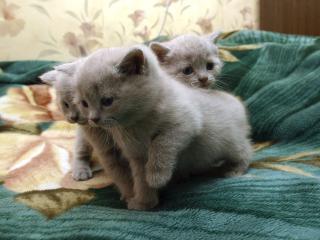 обои Светло-шоколадные котята фото