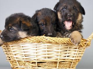 обои Трое щенят овчарки в корзинке фото