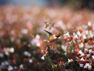 обои Колибри питается цветочным нектаром в Хантингтоне-Бич,   Калифорния фото