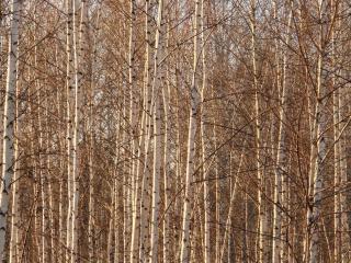 обои Берёзовая чаща леса фото
