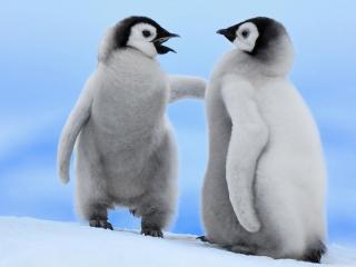 обои Разговор двух пингвинов фото