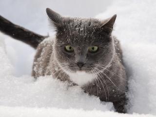 обои Серый кот крадется по мягкому снегу фото