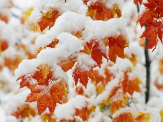 обои Красные листья покрытые снегом фото