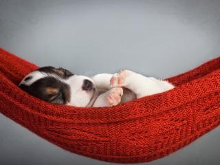 обои Щенок сладко спит в гамаке фото