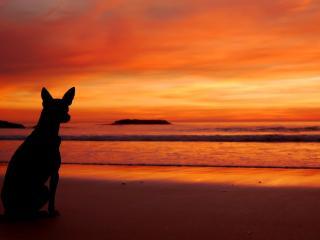обои Собака на закате у моря фото