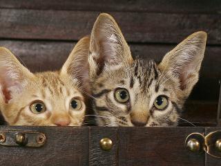 обои Два любопытных ушастика в сундуке фото