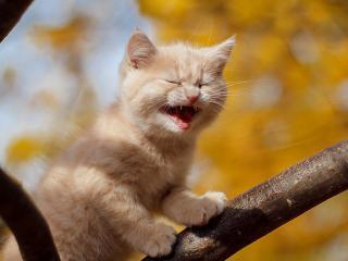 обои Рыжий котенок кричит на ветке фото