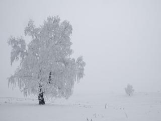 обои Два дерева,   снег и туман фото