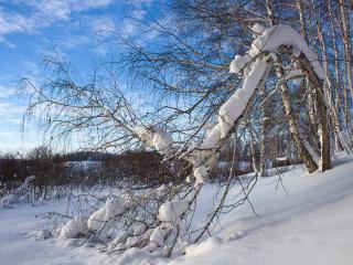 обои Под тяжестью снега, лесной пейзаж фото