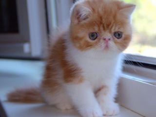 обои Рыже-белый котёнок фото