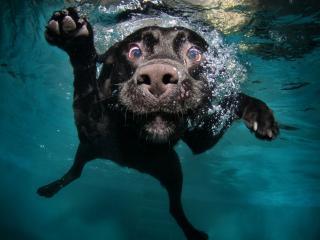 обои Заплыв черного пса под водой фото