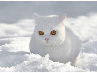 обои Брутальный белый кот на снегу фото