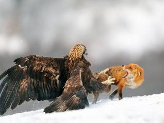 обои Схватка орла с лисой фото