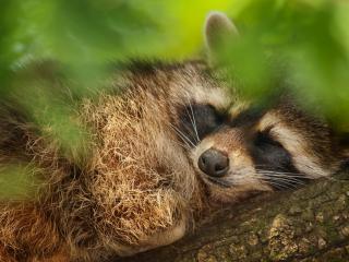 обои Енот сладко спит фото