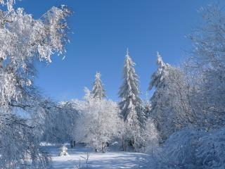 обои Снежные деревья на поляне леса фото