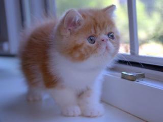 обои Котёнок у окна фото