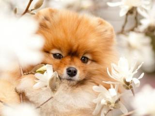 обои Маленький пёсик с цветами фото