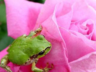 обои Маленький лягушонок на розовой розе фото