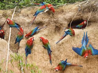 обои Стая разноцветных попугаев фото