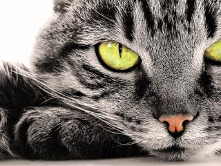 обои Зеленоглазая серая кошка фото