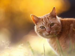 обои Рыжий кот в лучах солнца фото