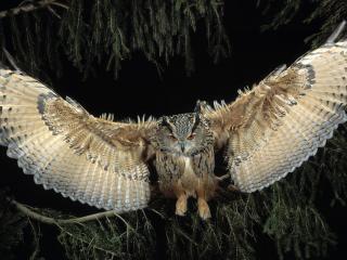 обои Сова расправила крылья на ветке фото