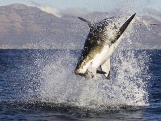 обои Нападение крупной акулы фото