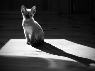 обои Лопоухий сиамский котенок фото