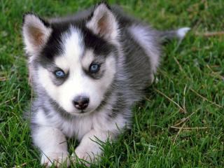 обои Голубоглазый щенок лайки на траве фото