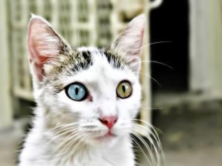 обои Настороженный кот с разными глазами фото