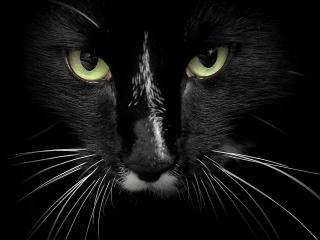 обои Черный кот с белыми усами фото