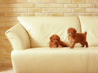 обои Два щенка на белом диване фото