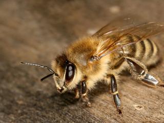 обои Мохнатая пчела на доске фото