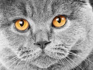 обои Серый котяра с рыжими глазами фото
