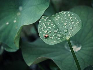 обои Божья коровка на листе с росой фото
