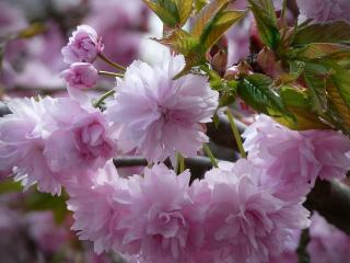 обои Нежное цветущее дерево фото