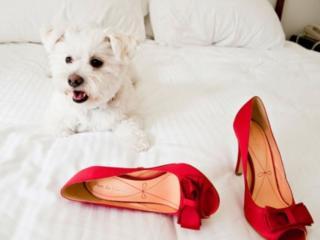 обои Болонка и красные туфельки фото