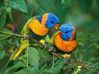 обои Два разноцветных попугайчика фото
