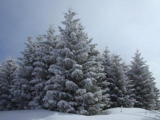 обои Пышные ели леса, в снегу фото