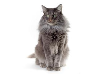 обои Зеленоглазый серый кот фото