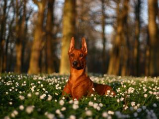 обои Рыжий пес лежит на траве фото