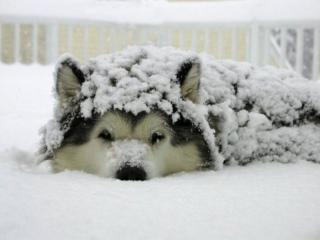 обои Пёс в снегу фото