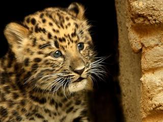обои Мордочка леопарда фото