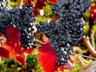 обои Гроздья сочного винограда фото
