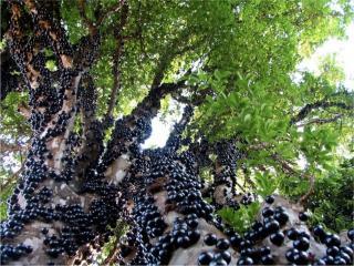 обои Джаботикаба - вечнозеленое плодовое дерево фото