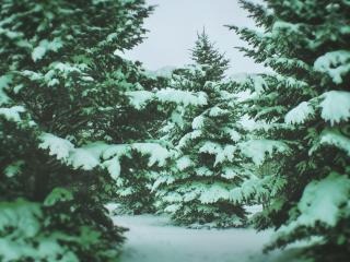 обои Снежные ели фото