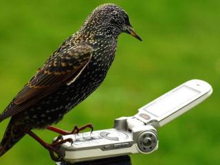 обои Птичка с мобильником фото
