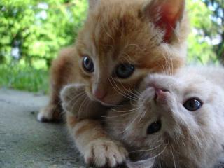 обои Два котёнка фото